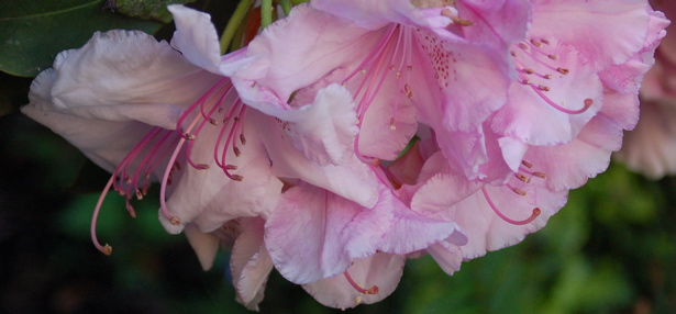 rhododendron_green_back_close