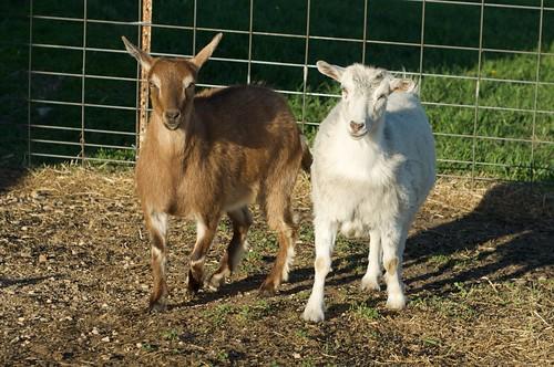 Goat Ears