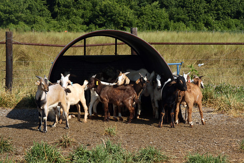 Goats using their port-a-hut shelters