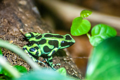 Photo of Poison dart frog