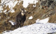 Camosci18 (Lunghefocali.snc) Tags: camoscio rupicaprarupicapra dolomiti valdifiemme trentino altamontagna biancoenero wildlife nature