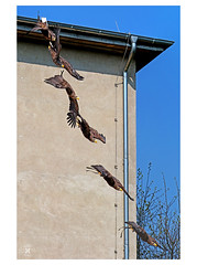 flight of an eagle (richieb56) Tags: wildlife natur vogel bird prey adler eagle sequenze collage panorama germany deutschlang burgrabenstein brandenburg action bewegung focus fokus beute flug start flügel schwinge