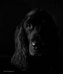 7/52 - Sammy 2017 (conniegavin12) Tags: 52weeksfordogs fieldspaniel spaniel pet