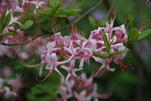 Rhododendron periclymenoides, Pinkster Azalea
