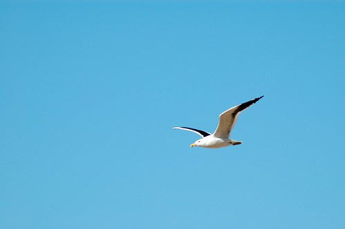 Soaring Gull in South Africa