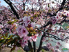Kurile Cherry blossoms - 千島桜 Chishima-zakura - Prunus nipponica Matsumura var. kurilensis - Rosaceae - Origin Kurile and Sakhalin islands and Japan SC20110511 254 (fotoproze) Tags: canada primavera spring quebec montreal jar printemps tavasz frühling بهار vår jaro bahar wiosna 春 春天 gwanwyn forår voorjaar jardinbotaniquedemontreal весна kevät proljeće 2011 пролет אביב 봄 montrealbotanicalgardens ربيع vorið musimbunga earrach pomlad primăvară άνοιξη пролеће موسم udaberrian mùaxuân بہار musimsemi kuriles 千島群島 chishima kurilen वसंत ฤดูใบไม้ผลิ курильскиеострова kouriles 択捉島 koerilen