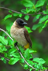 Dark-capped Bulbul (jeremyhughes) Tags: tree bird leaves southafrica nikon d200 nikkor krugernationalpark bulbul tc14eii darkcappedbulbul nikond200 featheryfriday 300mmf4d avianexcellence pyconotustricolor