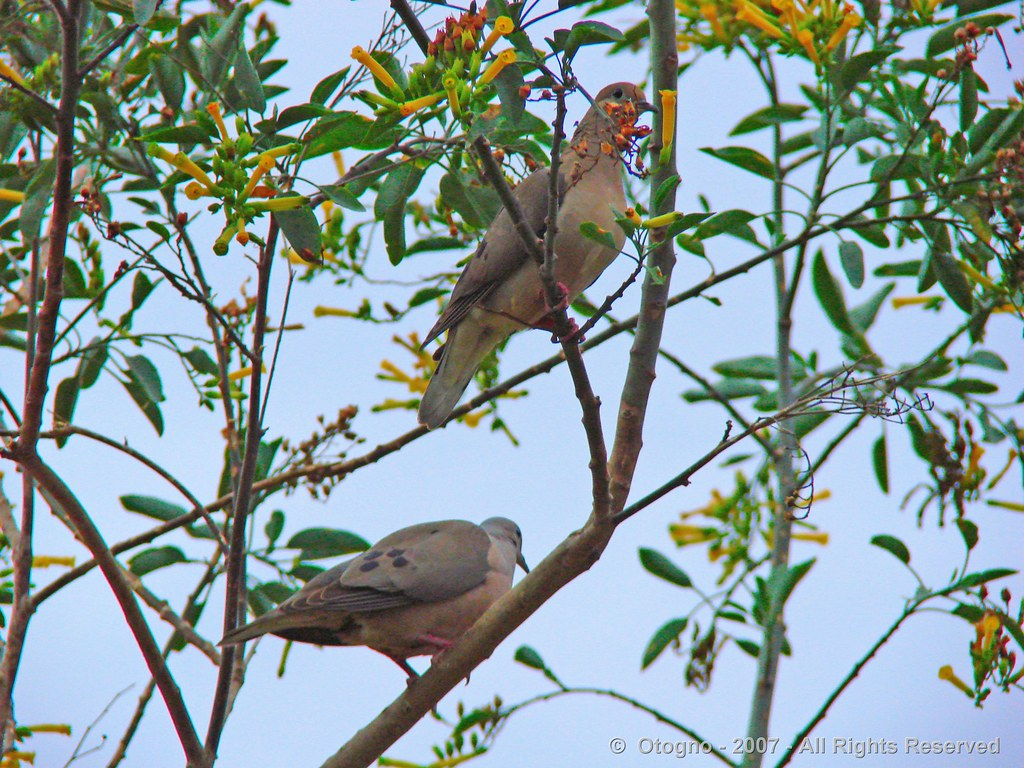 Palomas - Pigeons - Colombidi - Tauben @ Rosario - Argentina