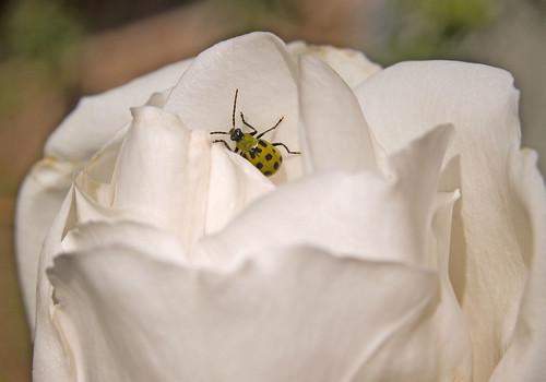 Cucumber Bug