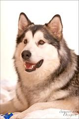 Lupo.jpg (Rigor & Samnooshka) Tags: dog puppy malamute sled alaskan lupo