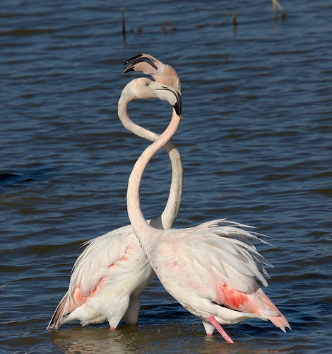 II/8 . Flamenc, Flamenco, Phoenicopterus ruber, Greater Flamingo by Joan Sabaté.