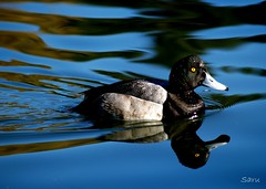 Just Ducky (AnotherSaru - Limited mode) Tags: bird nature water swimming swim duck  calm ducky kamo scaup greaterscaup fpc wldlife  theperfectphotographer