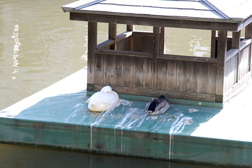 お堀端の鴨