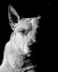 Parker sidelight B&W (zingpix) Tags: red usa dog dogs jeff washington all cattle  australian explore rights queensland jeffrey australiancattledog reserved heeler acd redheeler blueheeler allrightsreserved zingpix jeffjaquish jaquish jeffreyjaquish