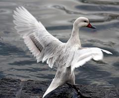 In A Flap... (law_keven) Tags: england bird london birds feathers ducks waterfowl regentspark flickercontestcity photoexel
