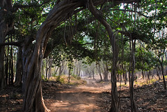 Banyan Tree (roevin | Urban Capture) Tags: wood india tree nationalpark forrest artistic expression branches roots dirt trunks banyan rajasthan ranthambore naturesfinest artisticexpression sawaimadhopur mywinners theperfectphotographer