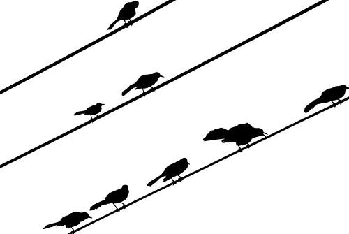 starlings bw 5