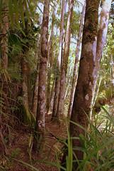 Jungle - Asan - Guam - 03 February 2008 (goatlockerguns) Tags: trees usa pacific jungle guam asan