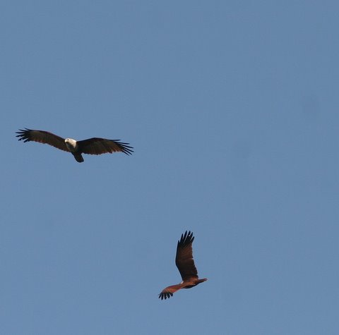 two brahminy kites lalbagh 010308