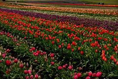 tulipfarmvisit2