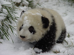 Babie (anitaleej) Tags: china its out zoo panda there sichuan pandacub wolong blueribbonwinner abigfave platinumphoto bifengxia pandacentre