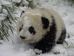 Babie (anitaleej) Tags: china its out zoo panda there sichuan pandacub wolong blueribbonwinner abigfave platinumphoto bifengxia pandacentre