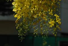 DSC_0235 (achuhari) Tags: flowers vishu konna