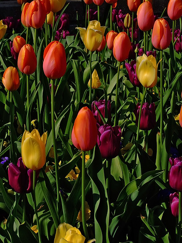 "Missouri Botanical (""Shaw's"") Garden, in Saint Louis, Missouri, USA - tulips 2"