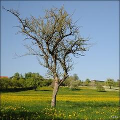 Frhlingswiese / Spring Meadow (digitus_malus) Tags: tree spring meadow wiese nikkor baum frhling d300 badenwuerttemberg schwaebischealb abigfave 1685mmf3556gvr 1685vr