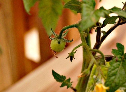 Hello Little Tomato
