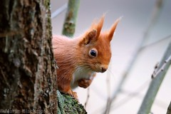 Red Squirrel 71445 (wildlifetog) Tags: red southeast alverstone isleofwight uk mbiow martin blackmore britishisles britain canon england european eos7dmkii wild wildlifeeurope wildlife nature squirrel