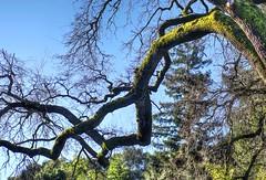 Moss covered oak (PeterThoeny) Tags: saratoga california hakonegardens japanesegarden tree oaktree oak moss outdoor 3xp raw nex6 sel50f18 photomatix hdr qualityhdr qualityhdrphotography fav100