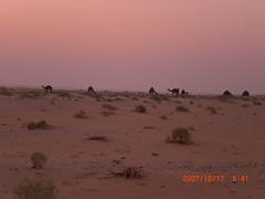 (wosom) Tags: bahrain picnic desert sands camels bedouins nomads qatar ksa       wosom