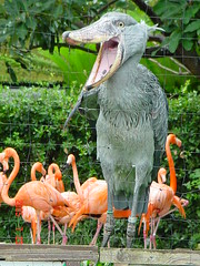 Strange bird & flamingos (SMY13) Tags: bird strange japan zoo tokyo ueno ave  pajaro  shoebill    picozapato