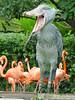 Strange bird & flamingos (SMY13) Tags: bird strange japan zoo tokyo ueno ave 東京 pajaro 上野 shoebill 動物園 鳥 ハシビロコウ picozapato