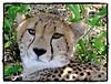 Cheetah (Grete Howard) Tags: travel animals wow kenya safari cheetah masaimara blueribbonwinner mywinners abigfave empyreananimals