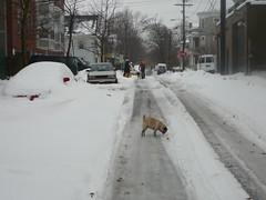 middle of the street sniffin' (alist) Tags: winter cambridge dog snow ice weather puppy pug alist annie cambridgemass 02139 alicerobison ajrobison