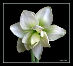 Hippeastrum White double (pennyeast) Tags: friends white plant black flower nature bulb photoshop garden southafrica botanical lily background capetown edge amaryllis frame plantae mygarden defenders extraction westerncape onblack hippeastrum amaryllidaceae naturesfinest monocotyledon golddragon geophyte platinumphoto amaryllisfamily citrit theunforgettablepictures overtheexcellence betterthangood theperfectphotographer papaalphaecho