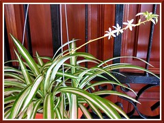 A young potted Chlorophytum comosum 'Vittatum' (Variegated Spider Plant) at our main door, shot Dec 11, 2007
