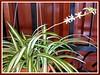Chlorophytum comosum 'Vittatum' (Spider Plant, Variegated Spider Plant, Airplane Plant, Ribbon Plant)