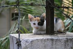 domestic kitten