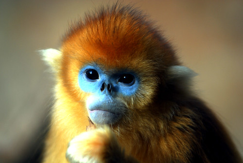 wallpapers of baby golden monkey youtube
