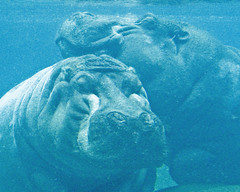 hippos napping together underwater (alan shapiro photography) Tags: blue togetherness couple underwater relaxing marriage peaceful sleepy happycouple napping serene bliss hippos overweight digitalcameraclub abigfave flickrbronzeaward elephantsrhinosgiraffeshippos itsazoooutthere 2010alanshapiro alanshapirophotography wwwalanwshapiroblogspotcom 2010alanshapirophotography