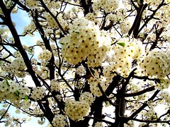 Blossoms_4