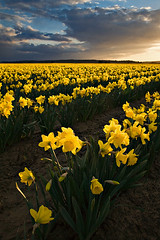 Backlit Daffy's (KPieper) Tags: county flowers sun yellow clouds landscape photography washington spring skagit backlit daffodils mtvernon nohdr kevinpieper kpieper pieperphotographynet