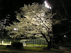 Image006 (cknmr0323) Tags: cherry 20080402