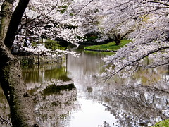 reflection (hamapenguin) Tags: pink white flower reflection nature water japan garden spring pond shrine kamakura  cherryblossom sakura  japanesecherry   thebiggestgroup impressedbeauty