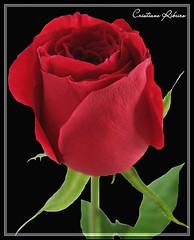 Para recordar... (Cristiane Ribeiro) Tags: flor rosa flickrhearts heartawards salveanatureza