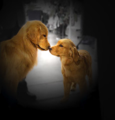 Kiss --EXPLORED (sundero) Tags: show goldenretriever puppy golden kiss explore dogshow specialty essentialbeauty photoshopdogs dogandpuppy evergladesgoldenretrieverspecialty