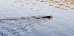 Castor - Beaver (Emjy) Tags: park canada natural reserve beaver mount qubec 2008 mont castor sthilaire gault naturel sainthilaire